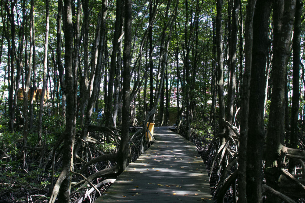 北カリマンタン、マングローブ保全地域を歩く